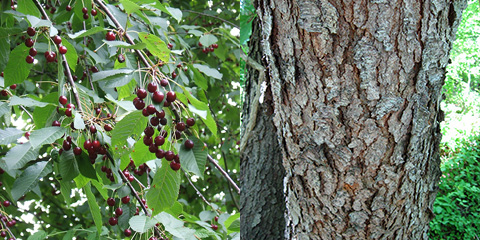 Cherry Fruit/Bark