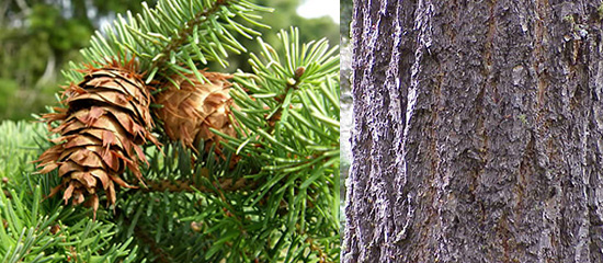 Douglas Fir Fruit/Bark