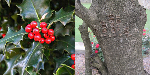 Holly Fruit/Bark
